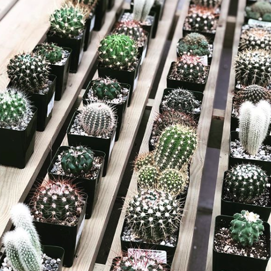 cacti at mulhall's