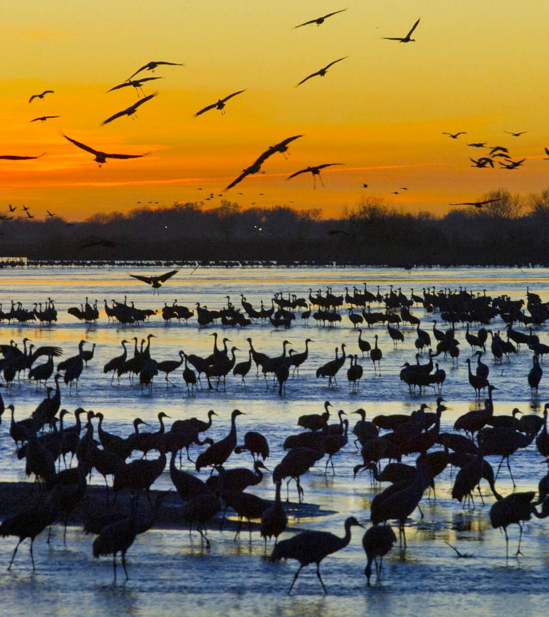 Sandhill cranes event photo